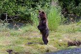 Cucciolo di orso grizzly — Foto Stock