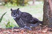 Great Horned Owl — 图库照片