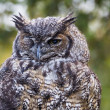 Great Horned Owl — Stock Photo #22025981