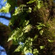 Licorice Fern — Stock Photo