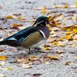 Wood Duck — Stock Photo