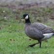 Cackling Goose - Stock Photo