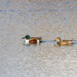 Northern Shoveler — Foto Stock
