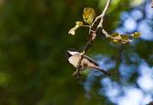 Black-capped Chickadee — Stock Photo