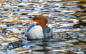Common Merganser — 图库照片
