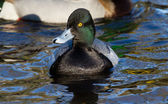 Lesser Scaup — Stock Photo
