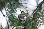 Anna's Hummingbird Nest — Stockfoto