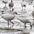 Snow Goose — Stock Photo #22192859