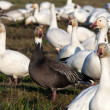 Snow Goose and Blue Geese — Stock fotografie