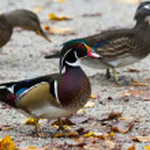 Wood Duck — Stock Photo