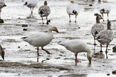Snow Goose — Stockfoto