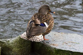 Female Mallard — Stockfoto