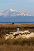Snowy Owl and mountain baker — Стоковое фото
