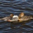 Northern Pintail — 图库照片
