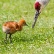 Sandhill crane and baby chick — Stock Photo #26148339