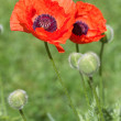 Poppy flower — Stock Photo