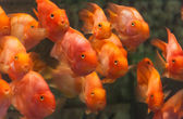 Blood parrot cichlid — Stock Photo