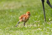 Sandhill crane baby chick — Stock Photo
