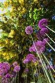 Alium onion flower — Stock Photo