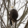 Bald Eagle — Stock Photo #26507441