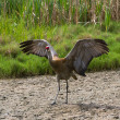 Sandhill crane — Stock Photo