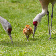 Sandhill crane and baby chick — Stock Photo