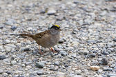 Golden-crowned Sparrow — Stock Photo
