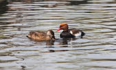 Crested Pochard — Stockfoto