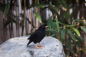 Grested Myna — Stock Photo