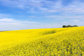 Yellow Canola Flower — Stock Photo