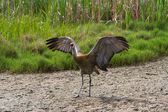 Sandhill crane — Stock Photo