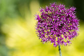 Alium onion flower — Stock Photo