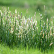 Royalty-Free Stock Photo: Green Grass
