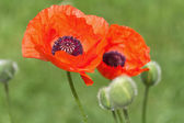 Poppy flower — Stock fotografie