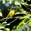 Stock Photo: Wilson's Warbler