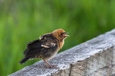 Yellow headed blackbird — Stockfoto