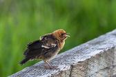 Yellow headed blackbird — Stock Photo