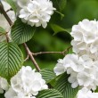 Viburnum plicatum — Stock Photo