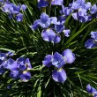 Siberian Iris flower — Stock Photo