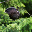 Sooty Grouse — Stock Photo