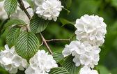Viburnum plicatum — Photo