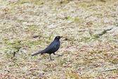 Brewer's Blackbird — Stock Photo