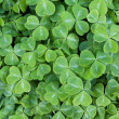 Green clover — Stock Photo