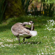 Leucistic Canada Goose  — Stock Photo