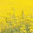 Yellow Canola Flower — Foto Stock
