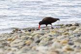 Black Oystercatcher — Stock Photo