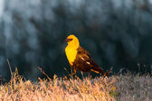 Yellow headed blackbird — Zdjęcie stockowe