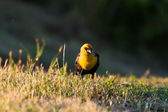 Yellow headed blackbird — Stock Photo