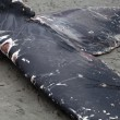 Stock Photo: Humpback whale washes ashore and died