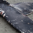 Humpback whale washes ashore and died — Stock Photo
